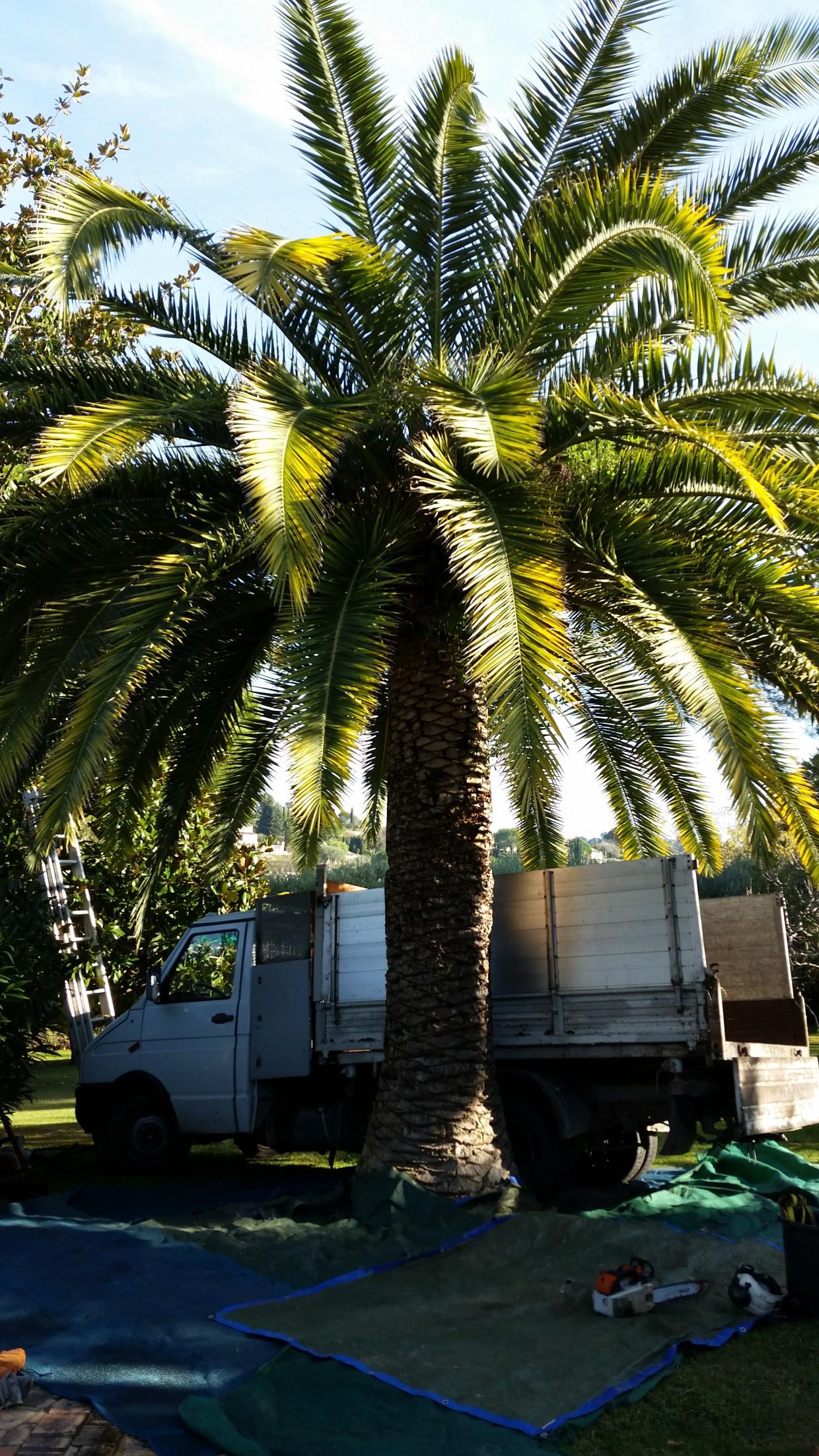 soin et entretien des palmiers